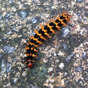 Great Eggfly Caterpillar