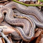 Eastern Garter Snakes mating