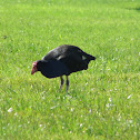 pukeko (preple swamp hen)