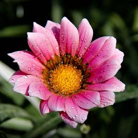Drops of purity on flower. by Debasish Naskar - Flowers Single Flower