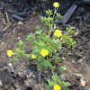 Sleder Yellow Woodsorrel (or similar)