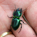Green-bordered Ground Beetle