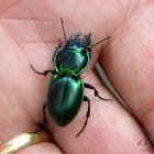 Green-bordered Ground Beetle