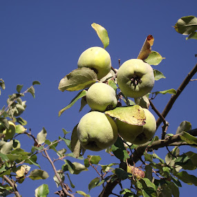 Apple Quince by Joao Sousa - Nature Up Close Other Natural Objects