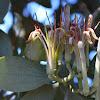 Grey mistletoe