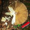 Platterful mushroom