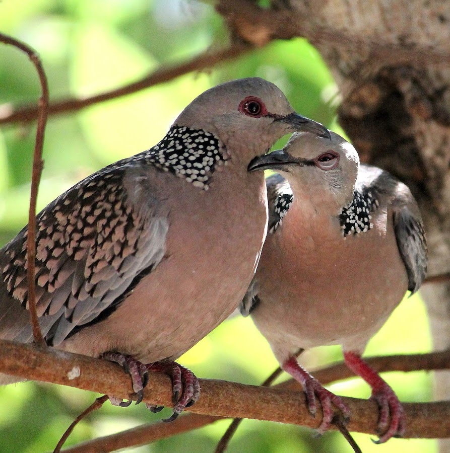 spotted doves by Niraj Jha - Animals Birds