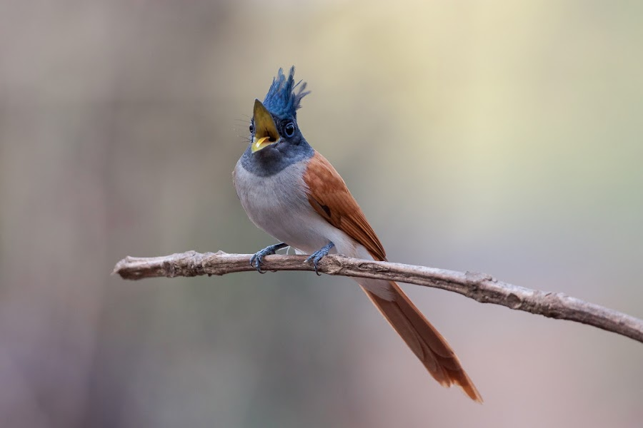 Asian Paradise Flycatcher by Sanjay Nagaonkar - Animals Birds