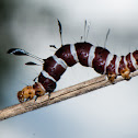Dice Moth Caterpillar