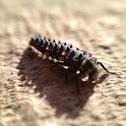 7 Spot Ladybird ( Nymph )
