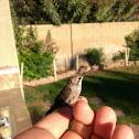 Black Chinned Hummingbird (Juvenile)