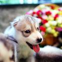 Dog wallpaper,Husky icon