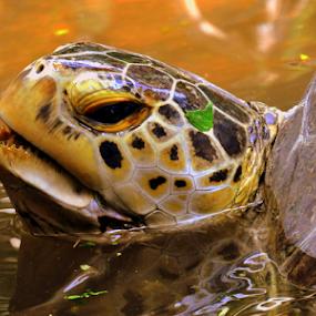 take a breath by Dino Rimantho - Animals Reptiles ( wild, reptiles, animals, nature, turtle,  )