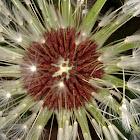Rock dandelion