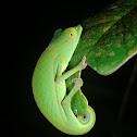 Perinet chameleon