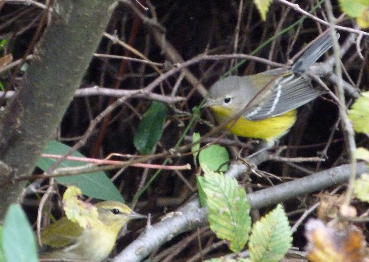 Tennessee & Magnolia warblers