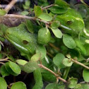 Westland green gecko