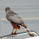 Cooper's Hawk , Male (Part 3 of 4)