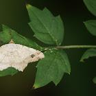 Brown Macaria Moth