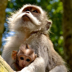 Protected by Matt Hulland - Animals Other ( bali, monkeys, indonesia, thailand, forest, monkey, animal )