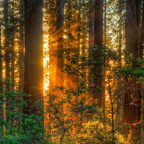 Sunset along Damnation Creek Trail, Humboldt County, California  by Beau Rogers - Landscapes Forests ( god beams, redwoods, american west, northern california, california, trees, forest, lightrays, coastal )