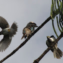 Noisy Miner, Laughing Kookaburra and Blue Faced Honey Eater