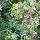 Powderpuff Mangrove