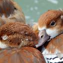 Egyptian geese babies