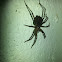 house spider(with babies)