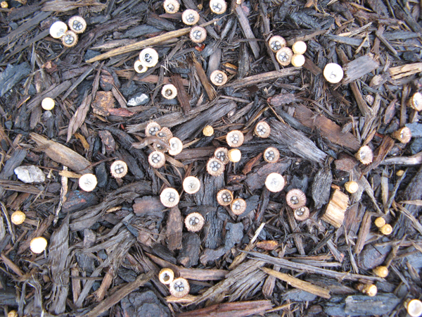 pleated bird's nest fungus