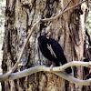 Satin Bower Bird (male)