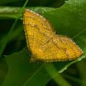 Yellow Shell / Ockergelber Blattspanner