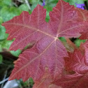 Hybridized Norway/Silver Maple