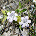 Rockland Twinflower