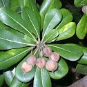 Japanese pittosporum