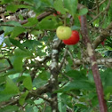 Sour Cherry, Acerola