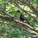 Jacobin Cuckoo / Pied Cuckoo / Pied Crested Cuckoo