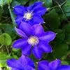 Clematis: Blue