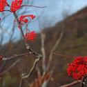 North American Mountain Ash Tree