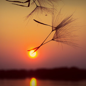 Touch the Sun by Svetlana Micic - Nature Up Close Other plants ( macro, nature, dandelion, sunset, close up, sun, river )
