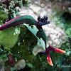 Chamberlain's Nembrotha Nudibranch