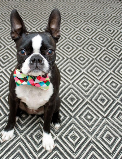 Boston Terrier Wallpapers
