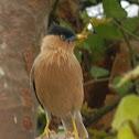 Brahminy Starling(Brahminy Myna)
