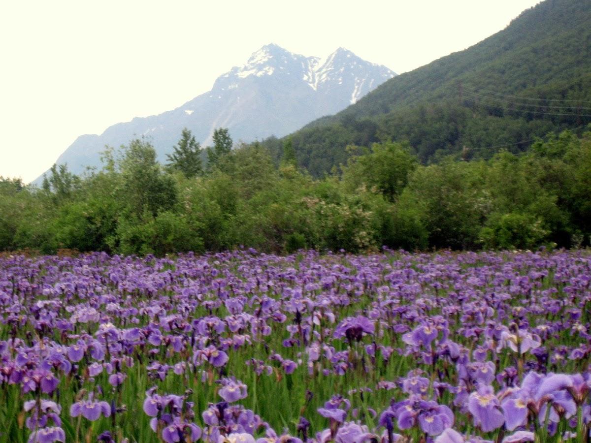Alaska wild Iris