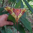 Malaysian Moon Moth