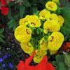 pocketbook plant