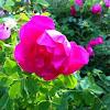 """Rose Shrub """"Elmshorn"""""""