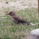 Northern Flicker (Yellow Shafted)