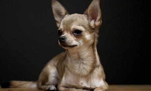 Chihuahuas Wallpapers