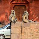 Gray langur/ Hanuman langur